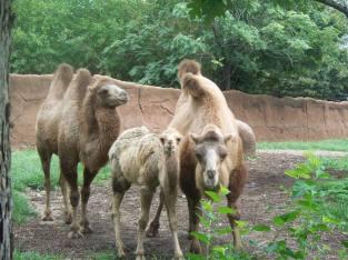 Camel family.