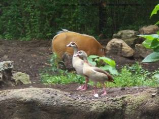 Egyptian geese and river hog.