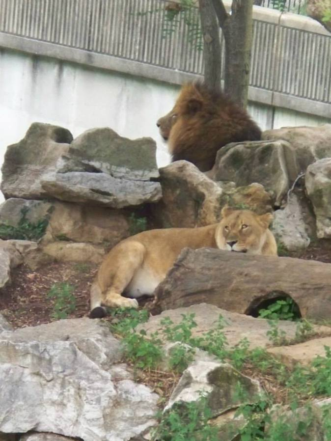 zoo_lion3