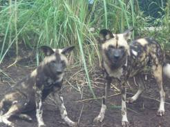 African Wild or Painted Dogs. They were very curious that morning about their lake being refilled.